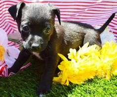 BOO ~~~ Weight: Around 2 pounds ~~~ Approximate Birth date: 4/23/14 True Age in human years: http://tinylovingcanines.blogspot.com/2013/08/aging-chihuahua.html ~~~ Energy level: Puppy   ALWAYS check our WEBSITE DIRECTLY to see if this dog or puppy is still available.