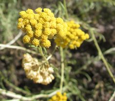 Helichrysum is a beautiful healing choice for your skin blend! #winterskin #aromahealing #essentialoils