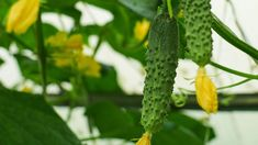 Odla gurka – steg för steg-guide   Mitt kök Guide, Cucumber, Stuffed Peppers, Vegetables, Stuffed Pepper, Veggie Food, Vegetable Recipes, Cauliflower, Stuffed Sweet Peppers