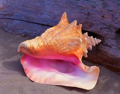 25+ best ideas about Conch shells on Pinterest | Sea shells, Conch ...