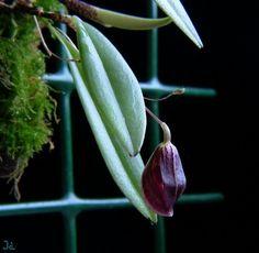 Phloeophila cunabulum