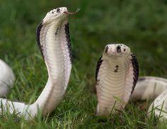 Indochinese Cobra - naja siamensis
