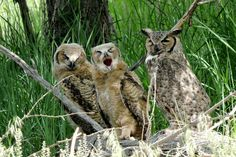 great horned owl family in Colorado
