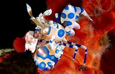 Harlequin shrimp - my all time favorite animal ever that I PRAY I see one day in the wild!