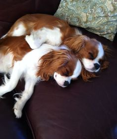 All About Cavalier King Charles Spaniel Grooming King Spaniel, Spaniel Puppies, King Charles Spaniel, I Love Dogs, Puppy Love, Cute Puppies, Cute Dogs, Cavalier King Charles Dog, Cute Animals