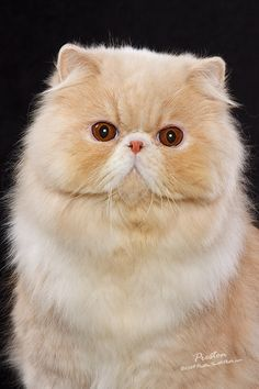 Scotti, cream and white bicolor persian