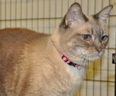 Persephone P. PussSiamese Mix • Adult • Female • Small San Gabriel Valley Humane Society San Gabriel, CA you are in search of a friendly cat, search no further! Persephone is not only gorgeous, but she just loves people, attention, and being petted. Please stop in to meet this very sweet girl and consider adopting! Persephone is approximately 5 years old and weighs 11 pounds.