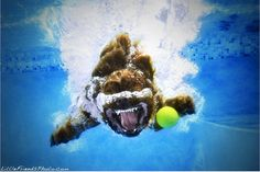 Funny dog fetching underwater
