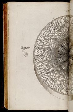 """yama-bato:    From:  The anatomy of plants  Author/Creator:  Grew, Nehemiah, 1641-1712.      [London]: Printed by W. Rawlins, for the author, 1682..biodiversitylibrary.org/page/268116        Nehemiah Grew (26 September 1641 – 25 March 1712) was an English plant anatomist and physiologist, very famously known as the """"Father of Plant Physiology"""""""