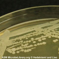 LA plate streaked with Bacillus subtilis and incubated at 37ºC for 24 hours; side view. (Kevin Hedetniemi and Min-Ken Liao, Furman University)