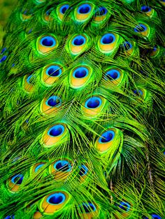 https://flic.kr/p/FnGb8 | Peacock Plumes | Wild peacock. Shot in a Surfers Paradise park during Indy 300, 2005.  Gold Coast, Queensland, Australia.  My third Explore-shot! This one was the first to break into the top 100! Check this photo's Explore history  ____________ Learn about Peafowl:  The term peafowl can refer to the two species of bird in the genus Pavo of the pheasant family, Phasianidae. The African Congo Peafowl is placed in its own genus Afropavo and is not dealt with here…