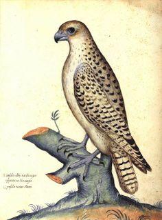 Girfalco - Da 'Natura Picta'  di Ulisse Aldrovandi (1522-1605)