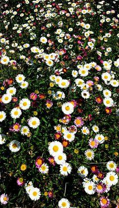 Salvapiano ' s Flowers