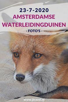 Ik maakte een wandeling in de Amsterdamse Waterleidingduinen. Dit keer zag ik een boomkikker, damherten, zonnedauw en 2 vossenwelpen. Mijn foto's zie je hier. Kijk je mee? #awd #boomkikker #vossenwelp #vos #zonnedauw #damhert #wandelen #hiken #natuur #jtravel #jtravelblog #fotos