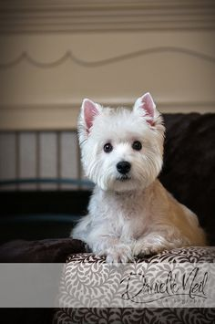 West Highland White Terrier, I absolutely love this dog! :)