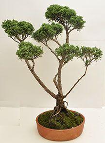 Bonsai Tools, Bonsai Styles, Magenta, Html, Garden Ideas, Plants, Gift Shops, Cypress Trees, Art Studios