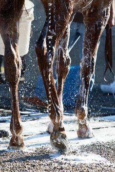 Dortmund's Soapy Legs | Thoroughbreds by Heather Moreton