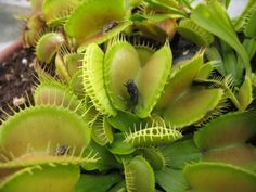 facts about venus fly traps - trapping mechanisms