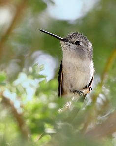 Young Costa's Hummingbird