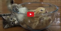 Too Cute! Kittens Having Fun in a Glass Bowl Too Cute! Kittens Having Fun in a Glass Bowl Cute Cat Gif, Cute Cats, Funny Cats, Cat Pictures For Kids, Funny Cat Pictures, I Love Cats, Crazy Cats, Beautiful Cats, Animals Beautiful