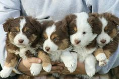 Armful of cuteness! Aussie Shepherd, Australian Shepherd Puppies, Aussie Puppies, Cute Puppies, Cute Dogs, Dogs And Puppies, Australian Shepherds, Doggies, Blue Merle