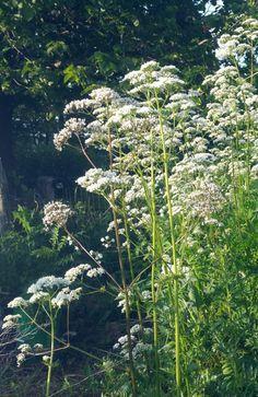 Valerian | Fresh Herbs | Herbalism | Nature Photography