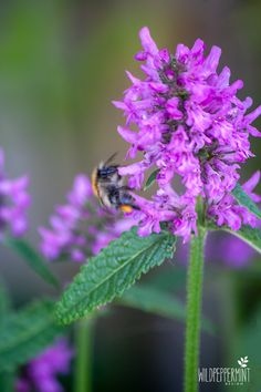 In meinem Blog dreht sich alles um Wildblumen bzw. -pflanzen und meinen grünen, ökologischen Topfgarten. Klickt mal rein. Freue mich über neue Follower, da ich kürzlich einiges umgestellt habe und auch den Namen geändert habe (früher: Wilde Schönheiten). Danke! :-)  #Wildblumen #Wildpflanzen #Wildkräuter #Topfgarten #ÖkoGarten #Terrassengarten #Ziest #Hummel Zucchini, Chili, Wilde, Plants, Animals, Blog, Gardening, Ground Cover Plants, Shade Perennials