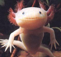 Axolotl Este es la clase mas conocida de las salamandras mexicanas, son usadas como mascotas en EEUU, Inglaterra y Japon.