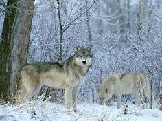Αποτέλεσμα εικόνας για wolves wallpapers