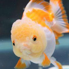 Oranda fancy goldfish upset cute face