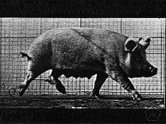 EXCERPTS >|< Trotting Pig (1887)   | Hosted at: Flickr  | From: Boston Public Library  | Download: 1500x1197 jpeg  | Digital Copy: Public Domain  An animated GIF of a trotting pig, created from Plate 675 by Eadweard Muybridge (1887) in Animal locomotion : an electro-photographic investigation of consecutive phases of animal movements, 1872-1885.