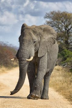 Big Bull Stroll by Mario Moreno. - A Bull Elephant walking on one of the dirt roads in Kruger National Park. Elephants in Kruger often use the roads to travel as they are free of vegetation and simplifies transport. Bull Elephant, Elephant Walk, Elephant Love, Giraffe, Beautiful Creatures, Animals Beautiful, Cute Animals, African Elephant, African Animals