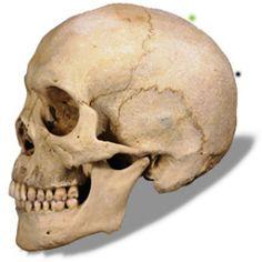 skull profile - Google Search