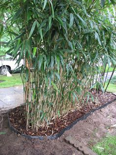 Brilliant and detailed article about containing bamboo, including barriers and pruning.