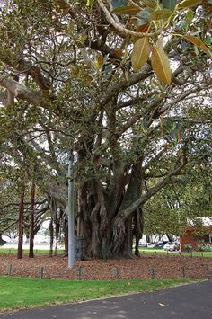 Old Albert - Moreton Bay Fig Tree planted in Devonport, NZ Fig Tree Plant, Albert Park, The Beautiful Country, Live In The Now, Auckland, New Zealand, Heaven, Tours, Places