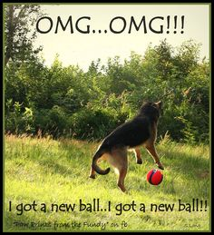 OMG... OMG!!! I got a new ball.. I got a new ball!! http://www.sweetshepherdrescue.com.au/
