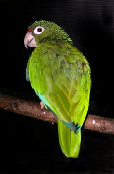 Puerto Rican Parrot, Cotorra de Puerto Rico