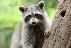 Little masked bandits - amadeusamse/Getty Images Baby Raccoon, Racoon, Facts About Raccoons, Flora Und Fauna, Makeup Mistakes, Animal Tracks, Stock Image, Illustrations, Family Dogs