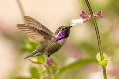 Costa's Hummingbird by Mick Thompson on 500px
