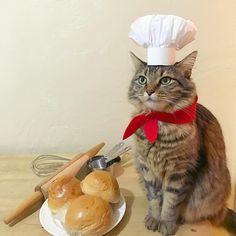 51 отметок «Нравится», 7 комментариев — Keimi cat & furiends (@keimicat) в Instagram: «You may kiss the chef. #halloween #petcostume #diypetcostume #catsincostumes»