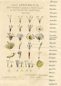 i love vintage botanical drawings! Botanical Drawings, Botanical Illustration, Botanical Prints, Illustration Art, Floral Prints, Carl Linnaeus, Sibylla Merian, Illustration Botanique, Fantastic Art