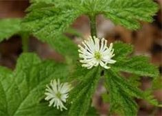 Goldenseal is the first herb diabetics ought to take a serious look at. Goldenseal has an insulin-like effect in the body, meaning it lowers blood sugar levels. If you are on insulin and start using goldenseal, it is important to monitor your sugar level carefully, because if the goldenseal (or any other herbs and supplements you are taking) begin to take effect, your need for insulin will diminish. In fact, you may wish to have your doctor monitor your progress occasionally.