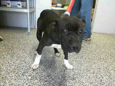 OUT OF TIME!!! KATIE - ID #A462501 (MUST EXIT ON 3/22)  picked up w/ GABE - ID #A462502  Rescue only ~ kennel 21  I am a female, black and white Pit Bull Terrier.   Shelter staff think I am about 2 years  San Bernardino City Shelter - Phone: 909-384-1304, Address: 333 Chandler Pl., San Bernardino, CA 92408. https://www.facebook.com/photo.php?fbid=10201195762810040&set=a.3186215868195.111836.1649756531&type=3&theater