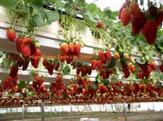 Plant strawberries in elevated beds using rain gutters.