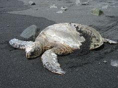 Sea Turtle Black Sand Beach Hawaii