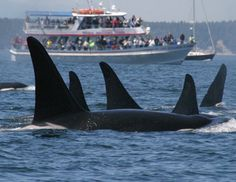 2015 Southern Resident Killer Whale Satellite Tagging - Northwest ...