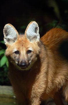 lobo-guara-filhote.jpg (322×500)