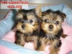 free-classifieds-ads.org - Affectionate yorkie puppies for adoption