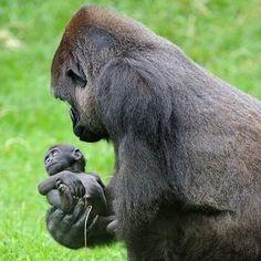 Mapenzi, le bébé gorille