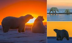A sunset so beautiful that even polar bears had to sit and admire it.